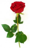 Роза Голландия, 80 см.