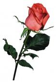 Роза Сочи Мордовия, 70 см.