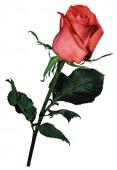 Роза Сочи Мордовия, 90 см.